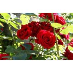 Rosal rojo terciopelo....