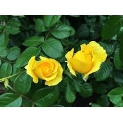 Rosal amarillo. Altura...