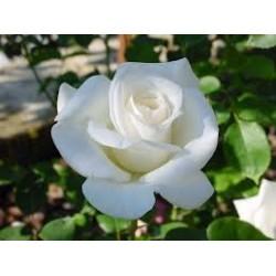 Rosal blanco en maceta
