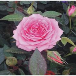 Rosal rosa en maceta
