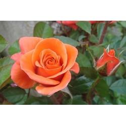 Rosal butano naranja en maceta
