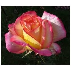 Rosal bicolor en maceta