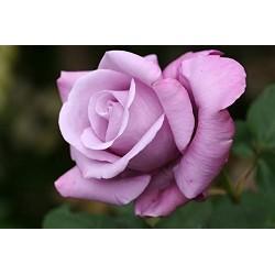 Rosal malva en maceta